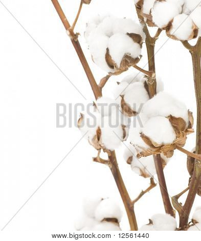 Cotton Flowers over white