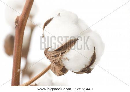 Algodón Closeup