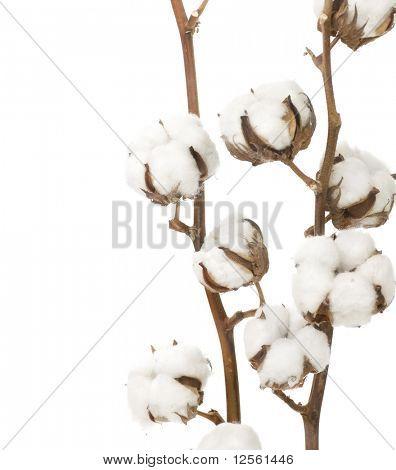 Cotton Border