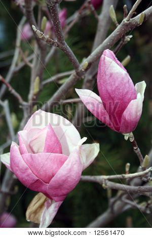 Two magnolia blossoms