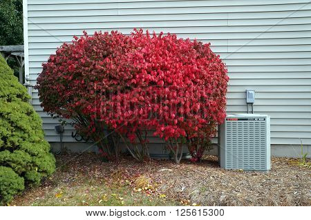 JOLIET, ILLINOIS / UNITED STATES - OCTOBER 21, 2015: Euonymus alatus, known as winged spindle, winged euonymus and burning bush, displays brilliant red autumn foliage outside a suburban home.