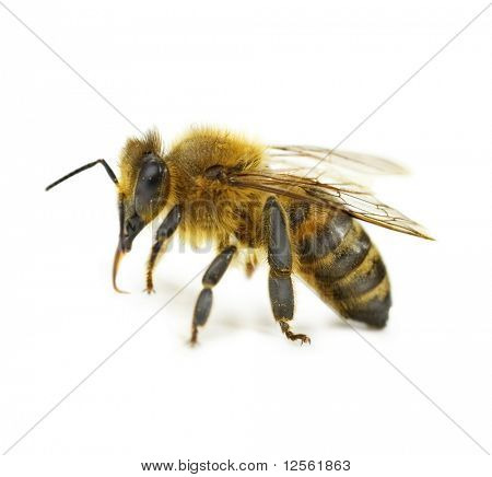 Single Bee isolated