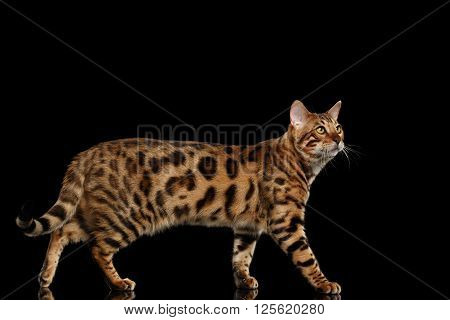 Bengal Male Cat Walking on Black Isolated Background and Looking up Side view
