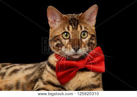 Closeup Bengal Male Cat with bow tie Curiously Looking in Camera on Black Isolated Background