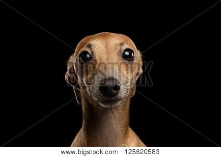 Closeup Portrait of Funny Italian Greyhound Dog Looking in Camera isolated on Black background Front view