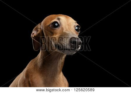 Closeup Portrait of Cute Italian Greyhound Dog Looking up isolated on Black background Front view
