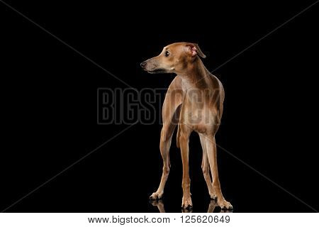 Italian Greyhound Dog Standing on Mirror and Looking at side isolated on Black background Font view