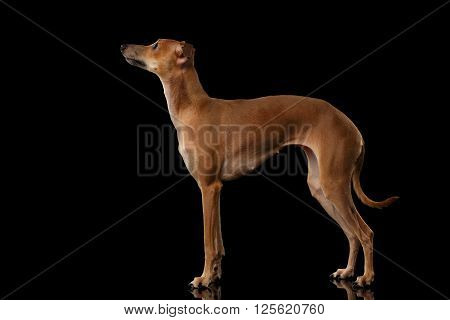 Italian Greyhound Dog Standing on Mirror and Looking up isolated on Black background Posing side view