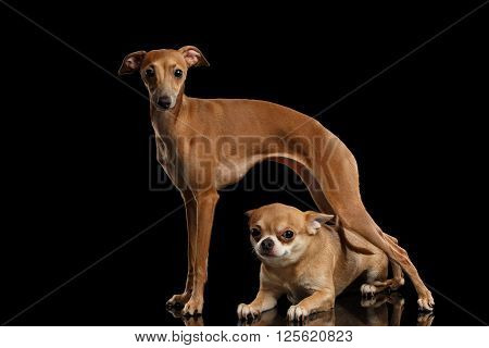 Red Chihuahua dog Lying under Standing Italian Greyhound on Mirror and Looking in Camera isolated on Black background