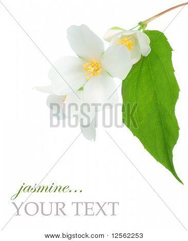 Beautiful Jasmine
