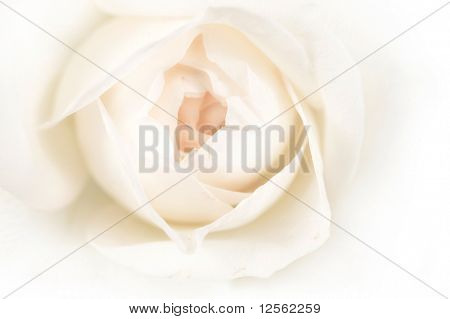Beautiful Soft Rose Center
