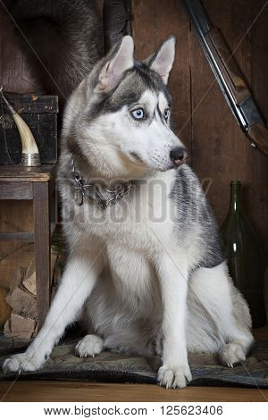Portrait of Siberian Husky dog with hunting accessories indoors
