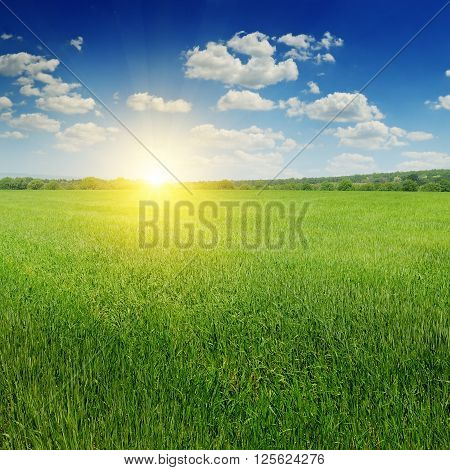 wheat field and sunrise in the blue sky
