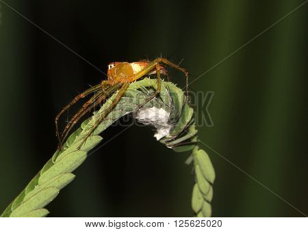 Lynx spider cowering protectively over its eggs