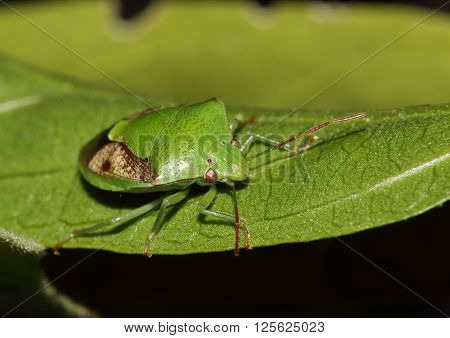 Green shield bug resting on a leave.