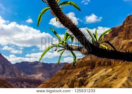 Yehuda Desert spiky plant with mountain background
