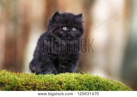 black british longhair kitten sitting outdoors in spring