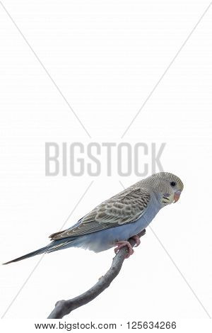 The Little Budgie, Budgerigar on the branch