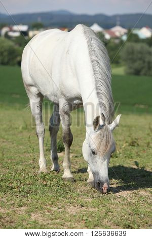 Nice White Mare Feed On Grass