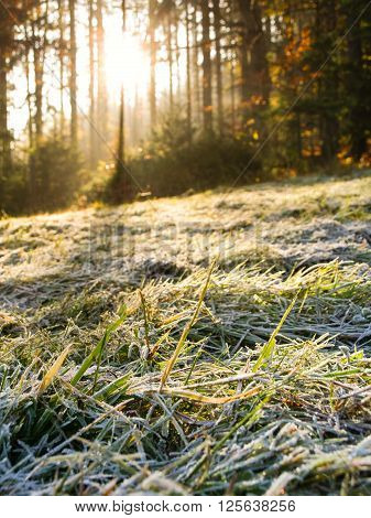 Morning hoarfrost on the grass and sunshine through the forest