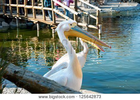 Portrait Nice Pelican In Nature