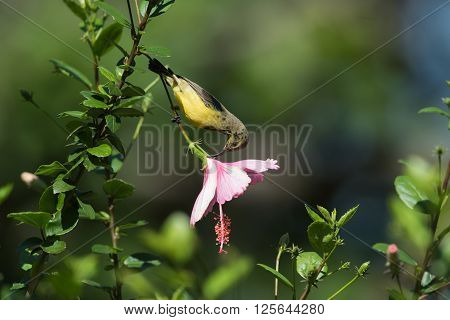 Juvenile Yellow-bellied sunbird (Nectarinia venusta) stealing nectar from a hibiscus flower