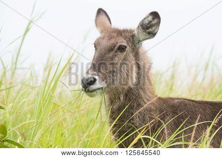 Portrait Of A Waterbuck (kobus Ellipsiprymnus) Eating Grass