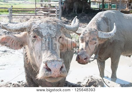 Albino water buffalo herd in a traditional thai farm with mud