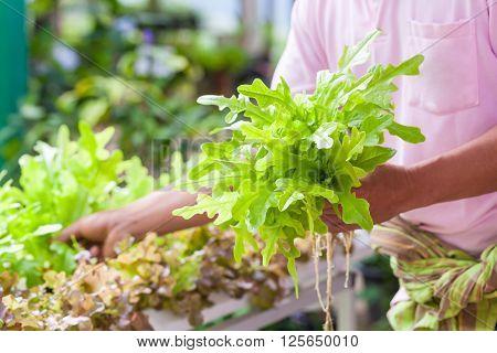 Gardener harvesting fresh green lettuce salad organic on blurred vegetable garden background. Lettuce salad on hand in focus. Outdoors.