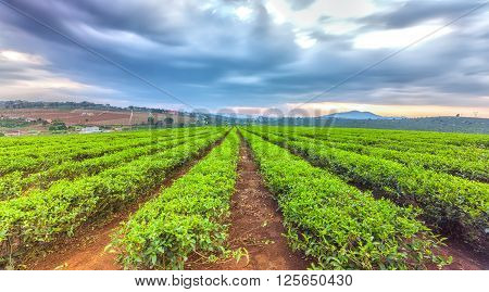 Tea plantation highlands with straight line heading straight  sun there clouds rays shining down as signaling cooling rain on green tea fields further better
