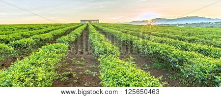 Tea plantations panoramic hill Plateau with rows untouched tea straight away house pulled collective, sun rising from summit welcomed new day on beautiful bazan this red lands