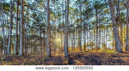 Sunbeams early in the pine forest with sun rays shining between two pines as inviting gate to the sunny pine forests and mysterious. Pondering beautiful healthy forests like this