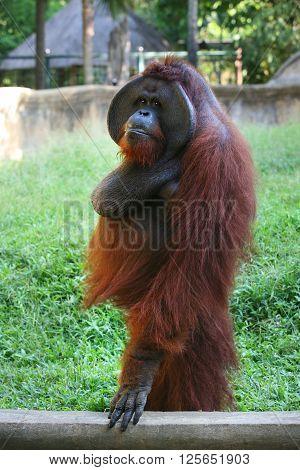 Adult big orangutan in zoo. Bali, Indonesia