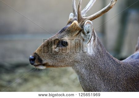 Doe detailed portrait isolated on forest background California.