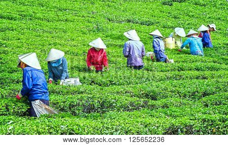 Lam Dong, Vietnam - 3rd March, 2016: Collective labor farmers picking tea horizontal uses hands to gather harvest tea leaves to factory hill in the morning plateaus Lam Dong, Vietnam