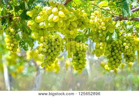 Green vineyard in the early sunshine with plump grapes harvested laden waiting white wine nutritious drink and be loved.