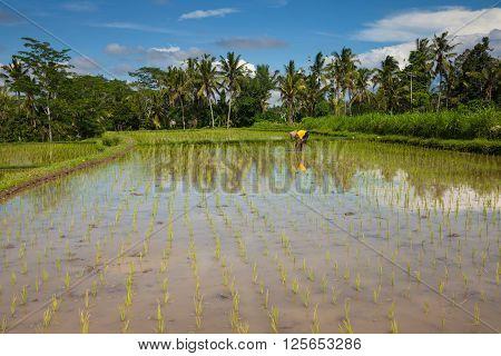 Ubud Indonesia - February 28 2016: Farmer is planting rice on the rice filends in Ubud Bali Indonesia on February 28 2016.