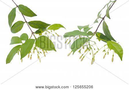 Set of creeper flower isolated on white background