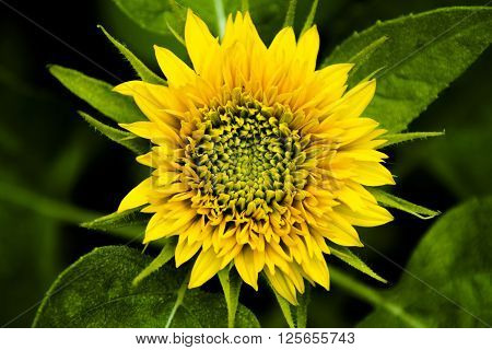a dwarf sunflower sprouting a fresh yellow flower from the top and green leaves below ** Note: Soft Focus at 100%, best at smaller sizes