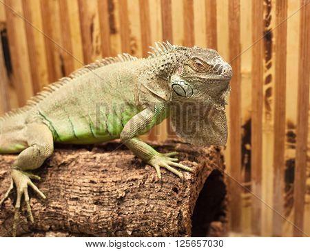 Photo Of Big Lizard