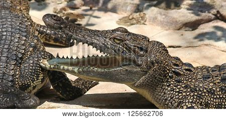 Crocodile. Alligator.