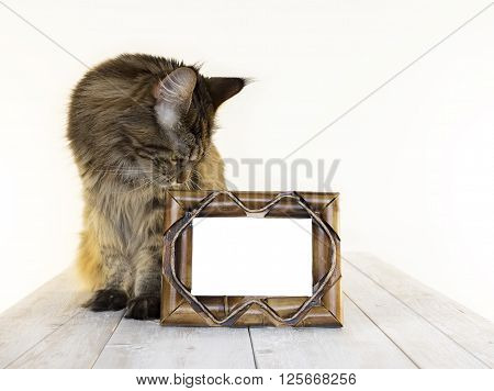 Maine Coon on a wooden table close-up