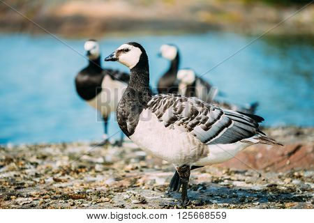 Wild Bird Barnacle Goose Branta Leucopsis On Rock In Finland.