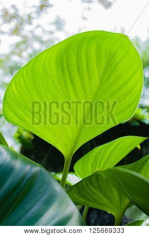 Big green leaf of a plant Eucharis