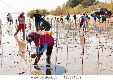 Phuket Thailand - November 21 2015: Volunteer from all over part of Phuket island working on plant young mangrove trees at the swamps nearby Saphan Hin public park