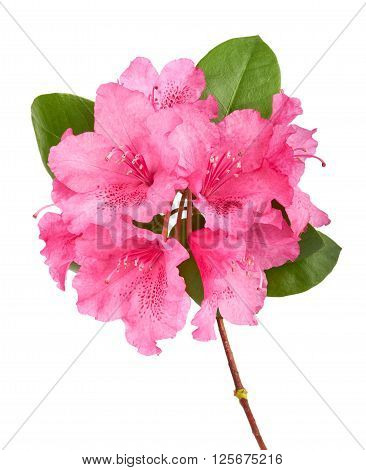 Branch Of A Pink Oleander Isolated On A White Background