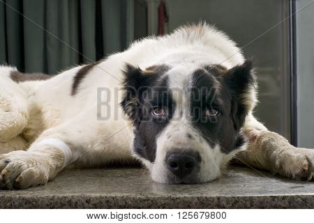 sad sick dog in a veterinary clinic