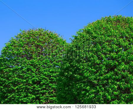 Two fluffy green bushes on blue sky background.