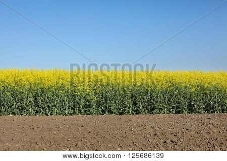Oil rape blossoming canola plants in field early spring