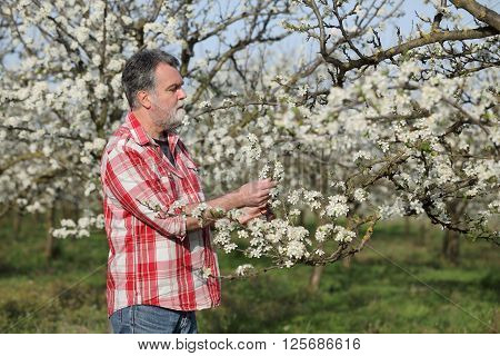 Farmer Or Agronomist In Blossoming Plum Orchard